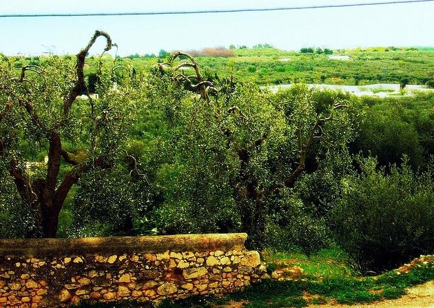 Hotels nella collina di Mattinata tra gli ulivi
